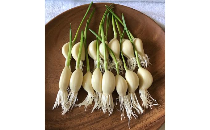 北海道標茶町のふるさと納税 レディーガーリック 水耕栽培発芽にんにく