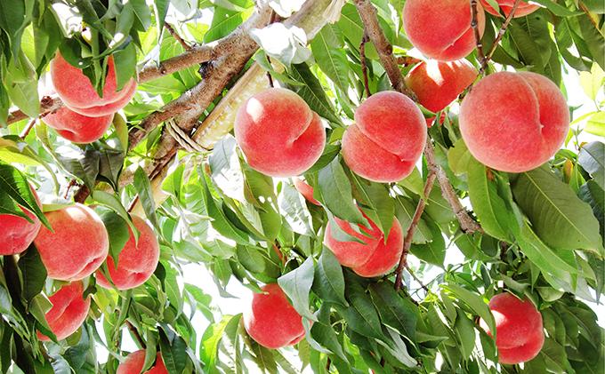 山梨県中央市のふるさと納税 【先行予約】フルーツ王国山梨の桃(3kg)