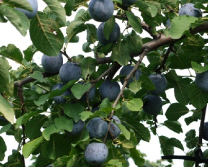 長野県佐久市のふるさと納税 減農薬栽培プルーン 約2kg