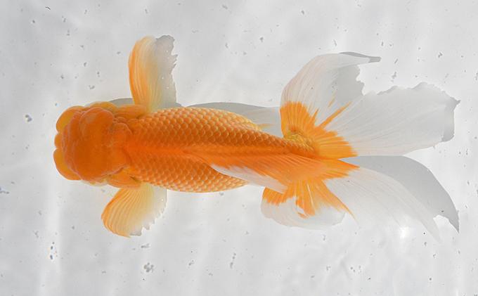金鱼「日本オランダ狮子头 」A